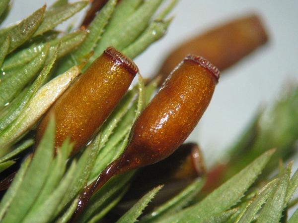Pogonatum Moss (Pogonatum Urnigerum) http://www.sagebud.com/pogonatum-moss-pogonatum-urnigerum