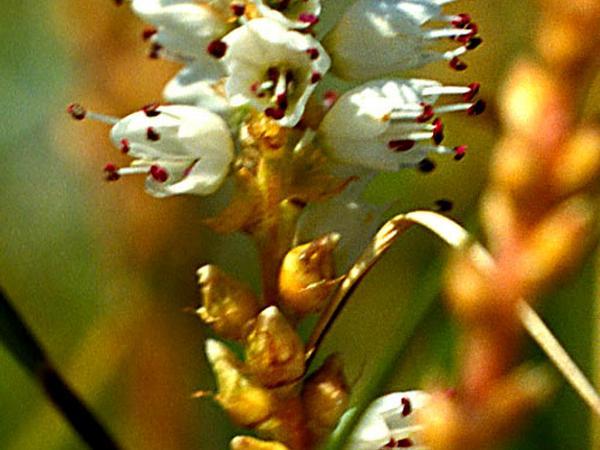 Alpine Bistort (Polygonum Viviparum) http://www.sagebud.com/alpine-bistort-polygonum-viviparum/