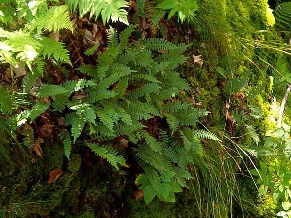 Rock Polypody (Polypodium Virginianum) http://www.sagebud.com/rock-polypody-polypodium-virginianum/