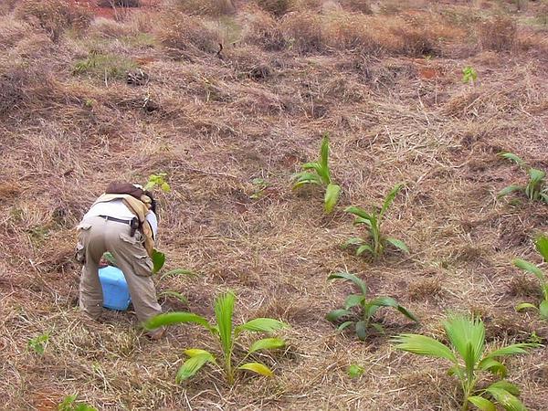 Hawai'I Pritchardia (Pritchardia Affinis) http://www.sagebud.com/hawaii-pritchardia-pritchardia-affinis