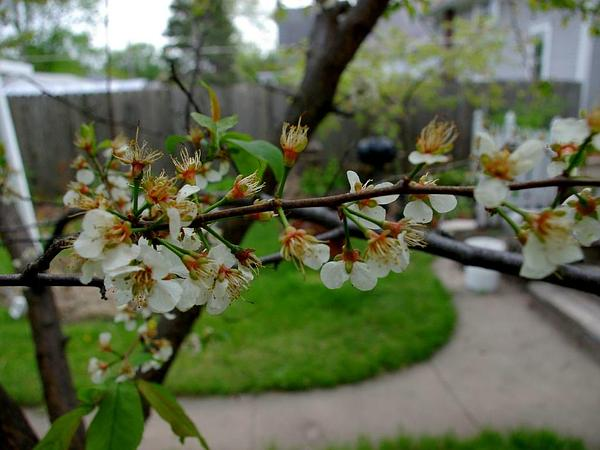 American Plum (Prunus Americana) http://www.sagebud.com/american-plum-prunus-americana