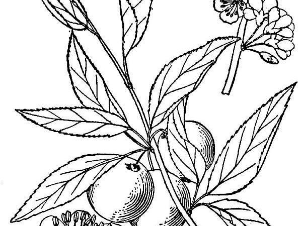 Chickasaw Plum (Prunus Angustifolia) http://www.sagebud.com/chickasaw-plum-prunus-angustifolia/