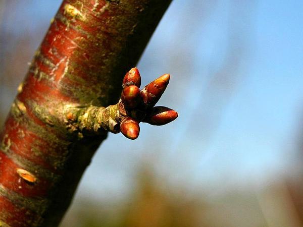 Sweet Cherry (Prunus Avium) http://www.sagebud.com/sweet-cherry-prunus-avium
