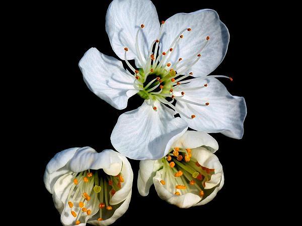 Sour Cherry (Prunus Cerasus) http://www.sagebud.com/sour-cherry-prunus-cerasus