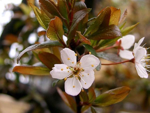 Cherry Plum (Prunus Cerasifera) http://www.sagebud.com/cherry-plum-prunus-cerasifera