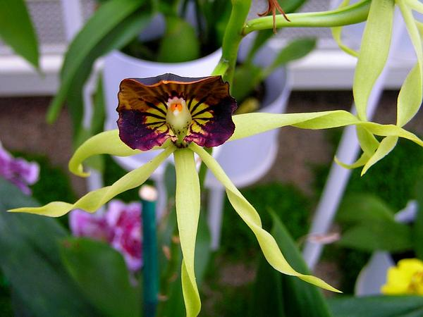 Clamshell Orchid (Prosthechea Cochleata) http://www.sagebud.com/clamshell-orchid-prosthechea-cochleata/