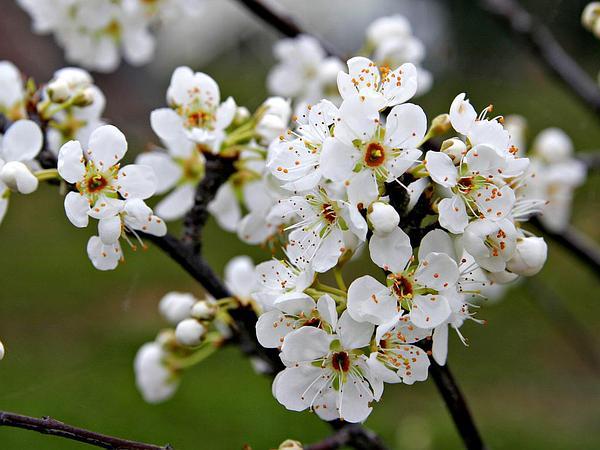 European Plum (Prunus Domestica) http://www.sagebud.com/european-plum-prunus-domestica