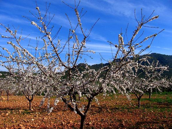 Sweet Almond (Prunus Dulcis) http://www.sagebud.com/sweet-almond-prunus-dulcis/