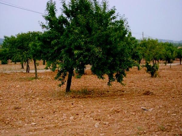 Sweet Almond (Prunus Dulcis) http://www.sagebud.com/sweet-almond-prunus-dulcis