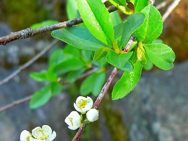 Bitter Cherry (Prunus Emarginata) http://www.sagebud.com/bitter-cherry-prunus-emarginata