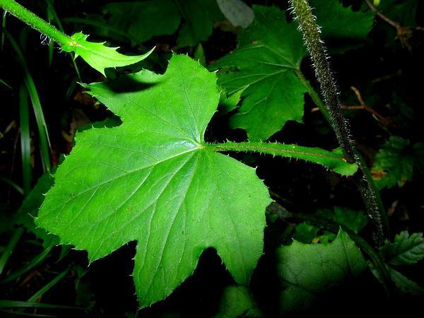 Rattlesnakeroot (Prenanthes) http://www.sagebud.com/rattlesnakeroot-prenanthes/