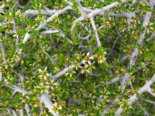 Desert Almond (Prunus Fasciculata) http://www.sagebud.com/desert-almond-prunus-fasciculata