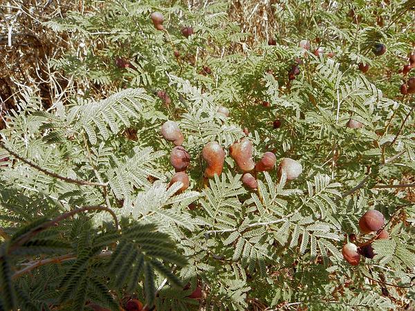Syrian Mesquite (Prosopis Farcta) http://www.sagebud.com/syrian-mesquite-prosopis-farcta/