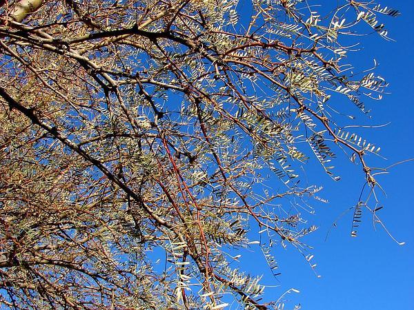 Honey Mesquite (Prosopis Glandulosa) http://www.sagebud.com/honey-mesquite-prosopis-glandulosa/