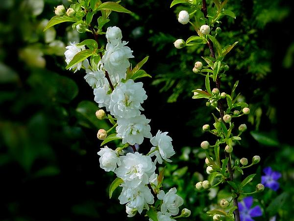 Flowering Almond (Prunus Glandulosa) http://www.sagebud.com/flowering-almond-prunus-glandulosa