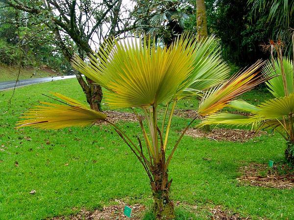 Makaleha Pritchardia (Pritchardia Hardyi) http://www.sagebud.com/makaleha-pritchardia-pritchardia-hardyi/