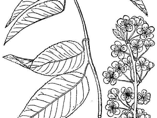 Hortulan Plum (Prunus Hortulana) http://www.sagebud.com/hortulan-plum-prunus-hortulana