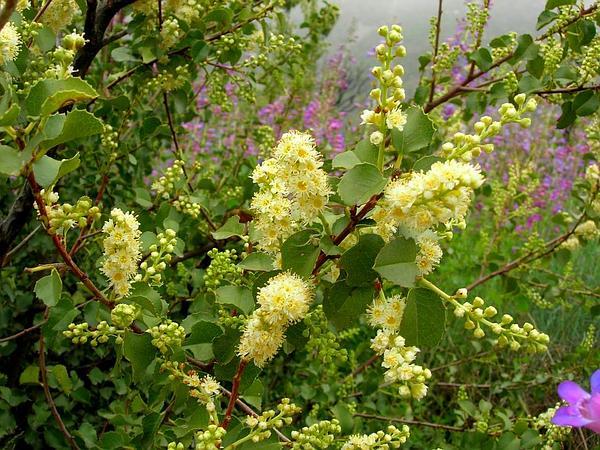 Hollyleaf Cherry (Prunus Ilicifolia) http://www.sagebud.com/hollyleaf-cherry-prunus-ilicifolia