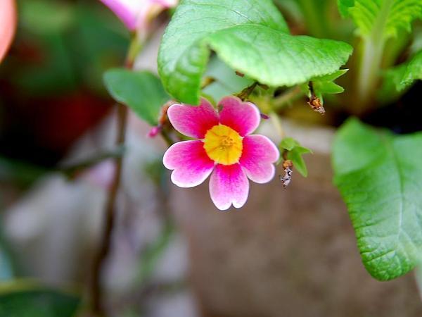 Primrose (Primula) http://www.sagebud.com/primrose-primula