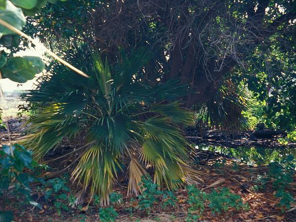 Pritchardia (Pritchardia) http://www.sagebud.com/pritchardia-pritchardia
