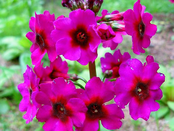 Japanese Primrose (Primula Japonica) http://www.sagebud.com/japanese-primrose-primula-japonica