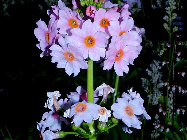 Japanese Primrose (Primula Japonica) http://www.sagebud.com/japanese-primrose-primula-japonica/