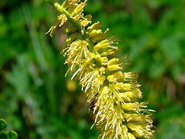Mesquite (Prosopis Juliflora) http://www.sagebud.com/mesquite-prosopis-juliflora/