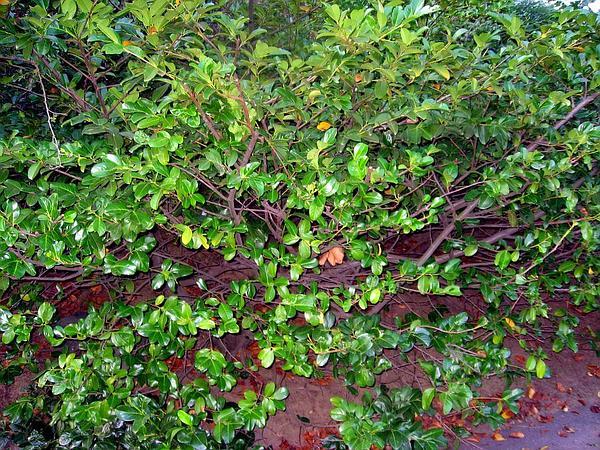 Cherry Laurel (Prunus Laurocerasus) http://www.sagebud.com/cherry-laurel-prunus-laurocerasus