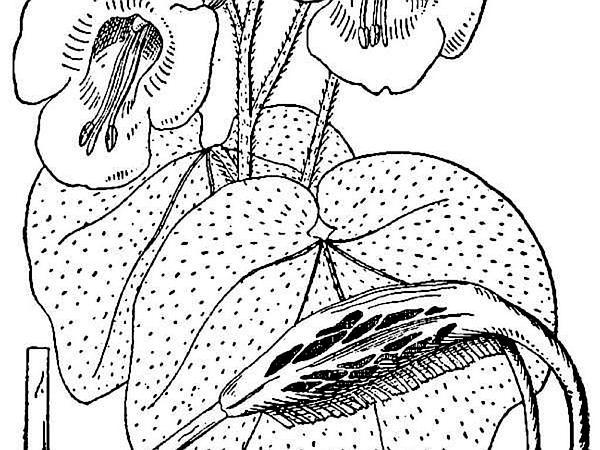 Ram's Horn (Proboscidea Louisianica) http://www.sagebud.com/rams-horn-proboscidea-louisianica