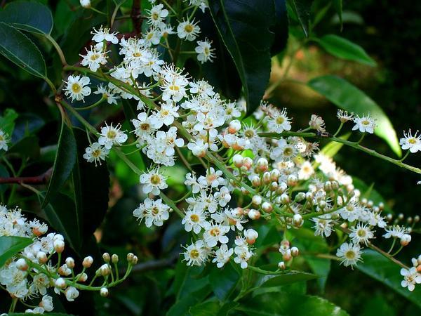 Portugal Laurel (Prunus Lusitanica) http://www.sagebud.com/portugal-laurel-prunus-lusitanica
