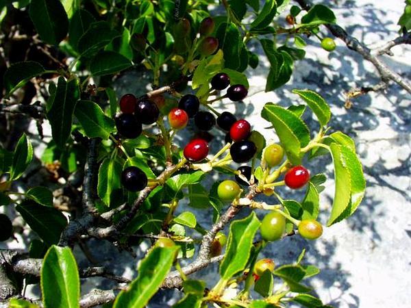 Mahaleb Cherry (Prunus Mahaleb) http://www.sagebud.com/mahaleb-cherry-prunus-mahaleb