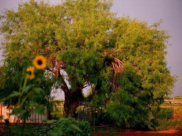 Mesquite (Prosopis) http://www.sagebud.com/mesquite-prosopis/