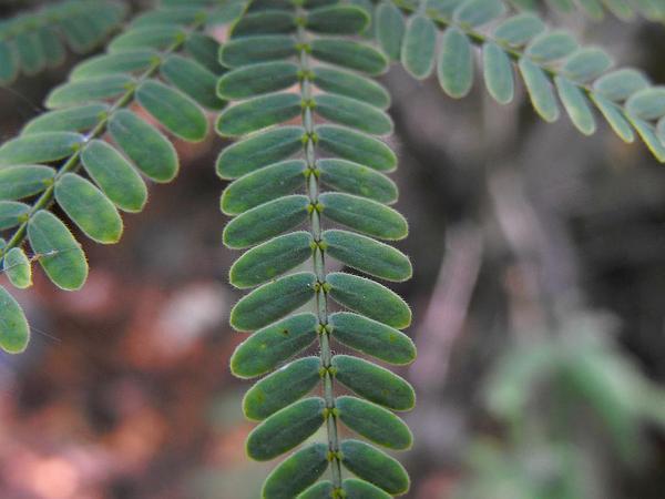 Mesquite (Prosopis) http://www.sagebud.com/mesquite-prosopis