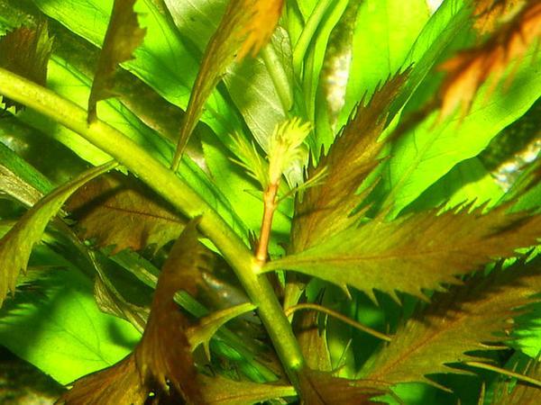 Marsh Mermaidweed (Proserpinaca Palustris) http://www.sagebud.com/marsh-mermaidweed-proserpinaca-palustris