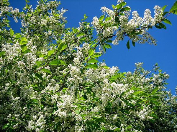 European Bird Cherry (Prunus Padus) http://www.sagebud.com/european-bird-cherry-prunus-padus/