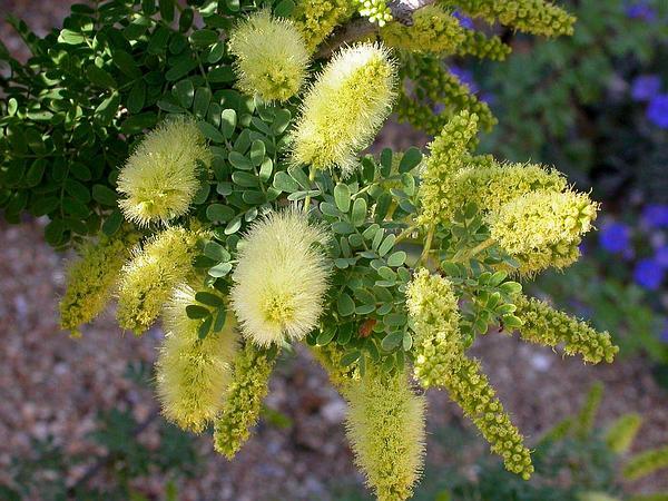 Screwbean Mesquite (Prosopis Pubescens) http://www.sagebud.com/screwbean-mesquite-prosopis-pubescens/