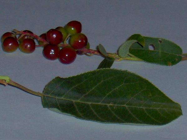 Black Cherry (Prunus Serotina) http://www.sagebud.com/black-cherry-prunus-serotina