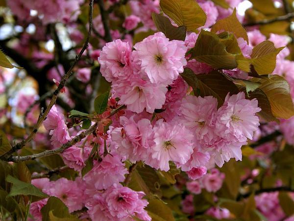 Japanese Flowering Cherry (Prunus Serrulata) http://www.sagebud.com/japanese-flowering-cherry-prunus-serrulata/