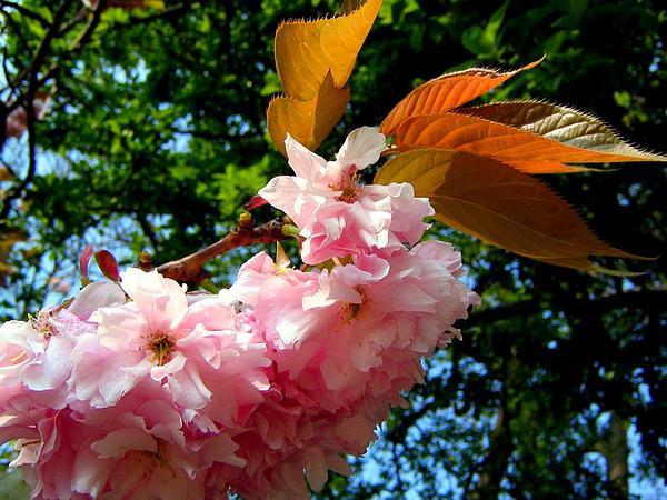 Japanese Flowering Cherry (Prunus Serrulata) http://www.sagebud.com/japanese-flowering-cherry-prunus-serrulata