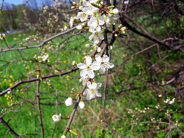 Blackthorn (Prunus Spinosa) http://www.sagebud.com/blackthorn-prunus-spinosa/