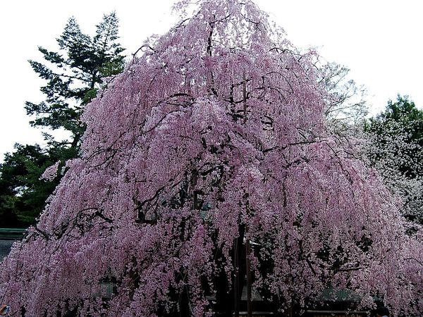 Winter-Flowering Cherry (Prunus Subhirtella) http://www.sagebud.com/winter-flowering-cherry-prunus-subhirtella
