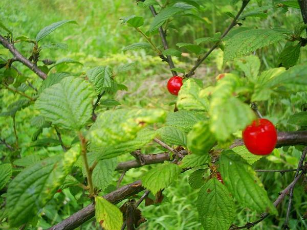 Nanking Cherry (Prunus Tomentosa) http://www.sagebud.com/nanking-cherry-prunus-tomentosa/