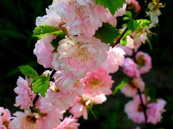Flowering Plum (Prunus Triloba) http://www.sagebud.com/flowering-plum-prunus-triloba