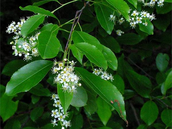 Plum (Prunus) http://www.sagebud.com/plum-prunus/