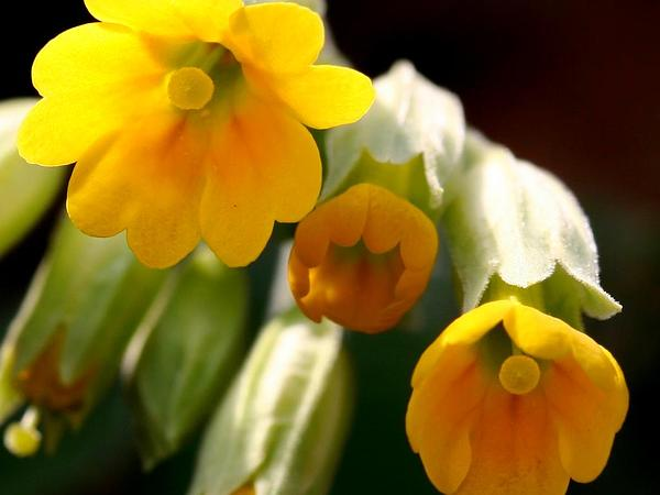 Cowslip Primrose (Primula Veris) http://www.sagebud.com/cowslip-primrose-primula-veris