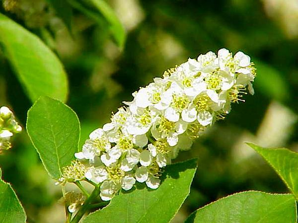 Chokecherry (Prunus Virginiana) http://www.sagebud.com/chokecherry-prunus-virginiana/