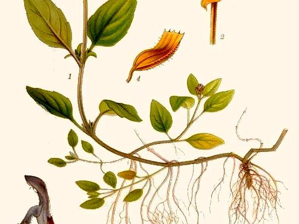 Common Selfheal (Prunella Vulgaris) http://www.sagebud.com/common-selfheal-prunella-vulgaris/