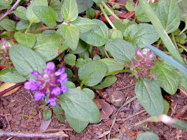 Common Selfheal (Prunella Vulgaris) http://www.sagebud.com/common-selfheal-prunella-vulgaris