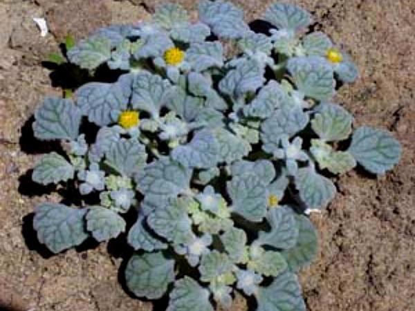 Turtleback (Psathyrotes) http://www.sagebud.com/turtleback-psathyrotes/