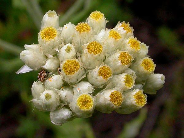 Ladies' Tobacco (Pseudognaphalium Californicum) http://www.sagebud.com/ladies-tobacco-pseudognaphalium-californicum